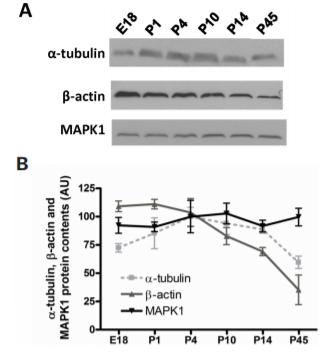 Sự biến thiên về mức độ biểu hiện của các Housekeeping Protein xuyên suốt quá trình phát triển của võng mạc chuột